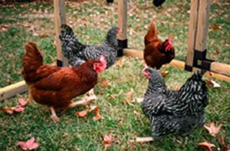 Chicken Run w/ Coop